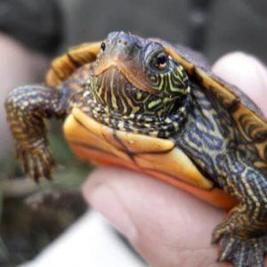 Turtle / Tortoise