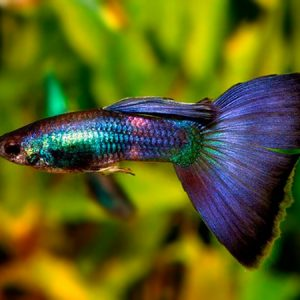 Guppy / Betta / Fry / Baby Fish